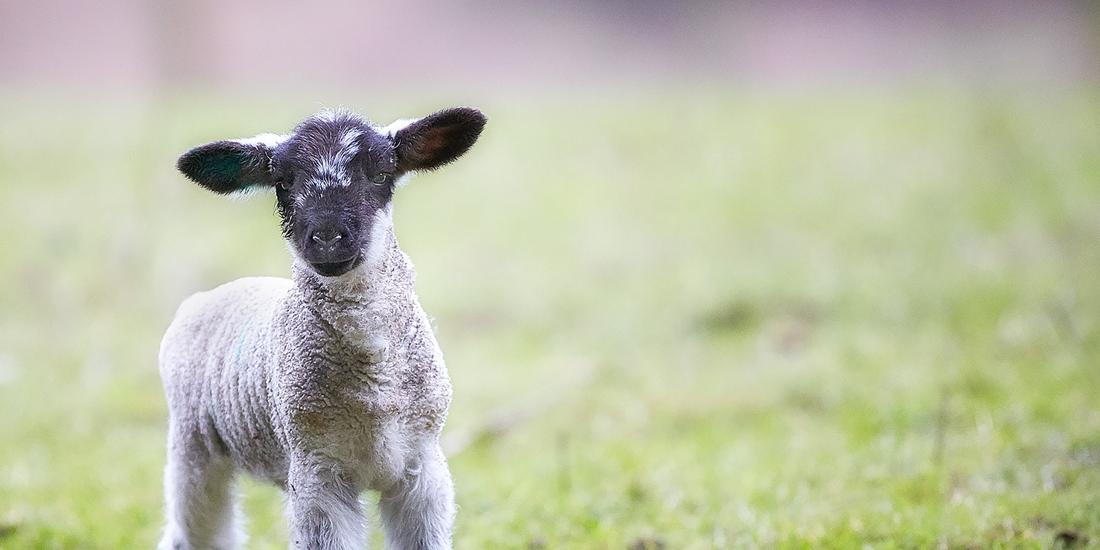 Salt Spring Lamb ©johncameron.ca