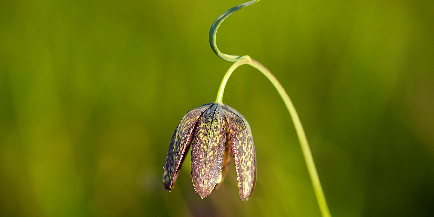 Chocolate Lilly, Pender ©johncameron.ca